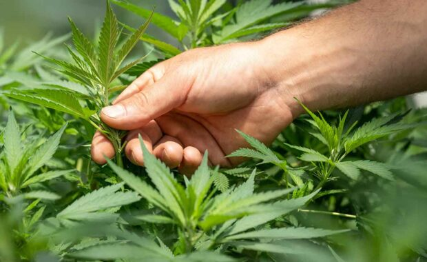 man working t dispensary touching cannabis plant